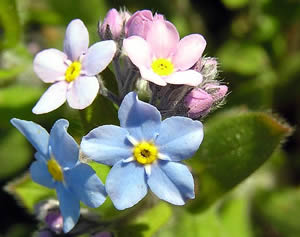 Myosotis Forget-Me-Not Flowers And Leaf